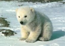 10 Polar Bear
