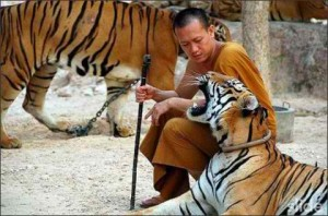 10 Tigers and certain Buddhists get along rather well.