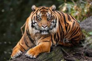 2 Tigers are no matches to humans who kill them without second thought.
