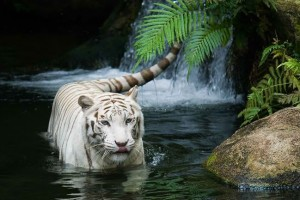3 Tigers are vulnerable to extinction.