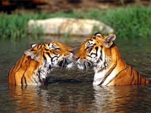 5 Tiger populations are falling at a very alarming rate.