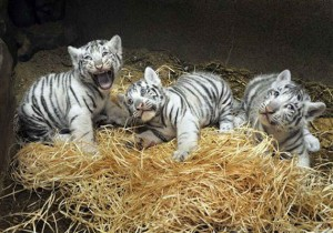 6 Tigers are for sale.
