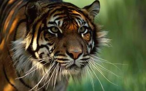 7 Tigers make for great icons.