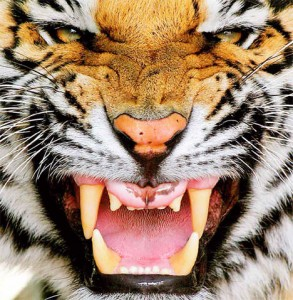 9 Tigers and some traditional medicine men don't get along very well