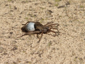 1 Wolf spiders can thrive anywhere depending on weather conditions