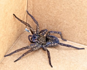 2 Bite of wolf spiders may cause fever