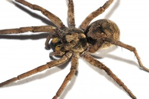 3 Wolf spiders are not dangerous to humans