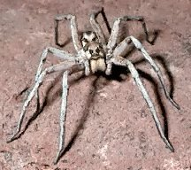 4 Some wolf spiders are able to walk on water