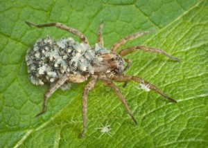 7 Wolf spiders bite when provoked