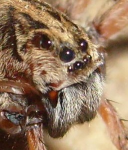 9 Wolf spiders have a total of eight eyes